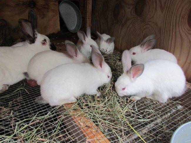 Кормление молодых кроликов сеном в клетке с проволочным полом