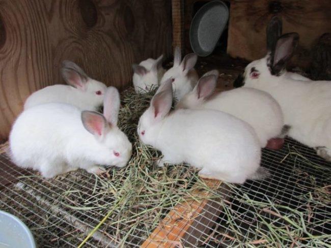 Полугодовалые кролики светлого окраса в общей клетке