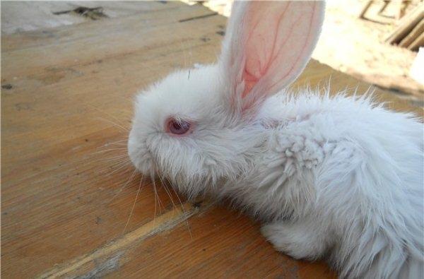 Белый кролик после перенесенного инфекционного стоматита легкой формы