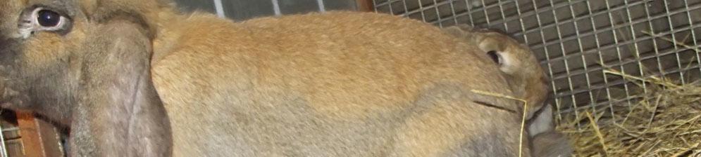 Больной кролик в клетке вместе с здоровым сородичем
