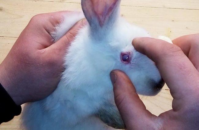 Раздражение глаза домашнего кролика при конъюнктивите от грязи