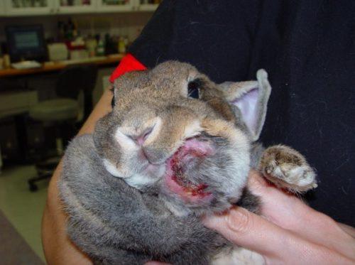 Серая мордочка кролика с типичными признаками возникновения абсцесса