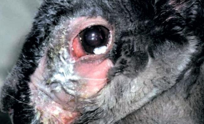 Проявление дакриоцистита на глазе кролика в виде гноя