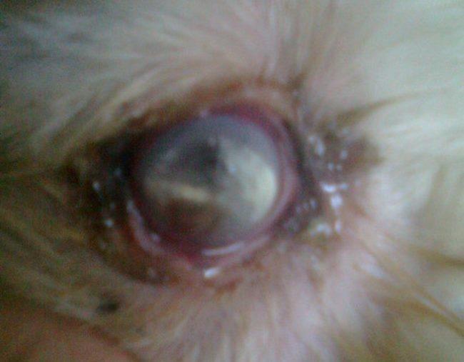 Больной глаз кролика при воспалении слезного мешка