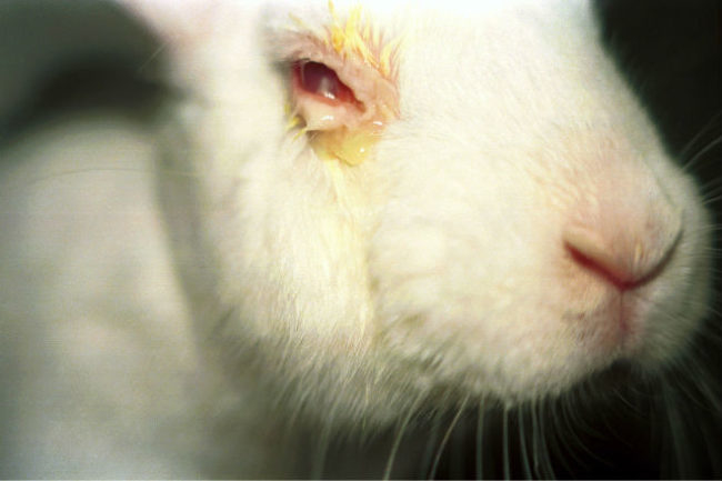 Признаки инфекционного конъюнктивита на глазе кролика в виде нагноения