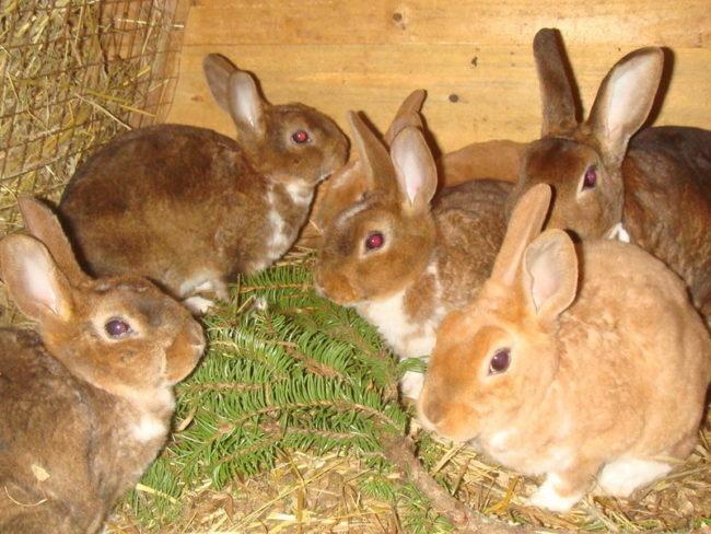 Кормление кроликов хвойными ветками для профилактики глистов