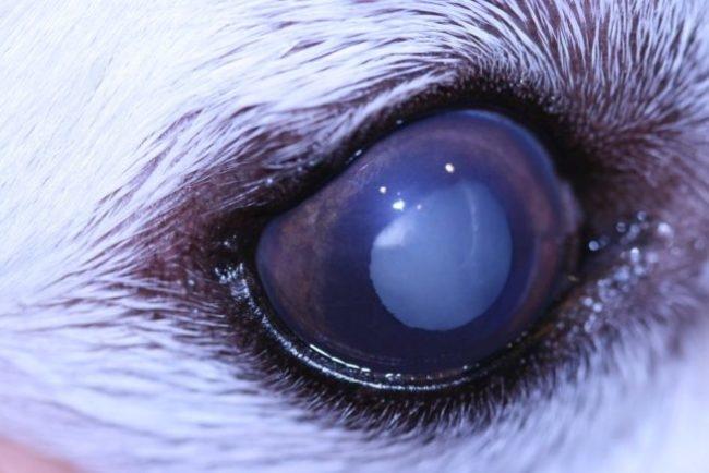 Мутный хрусталик в глазу кролика, больного катарактой