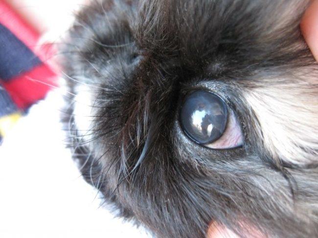 Бельмо на глазу серого кролика как признак кератита