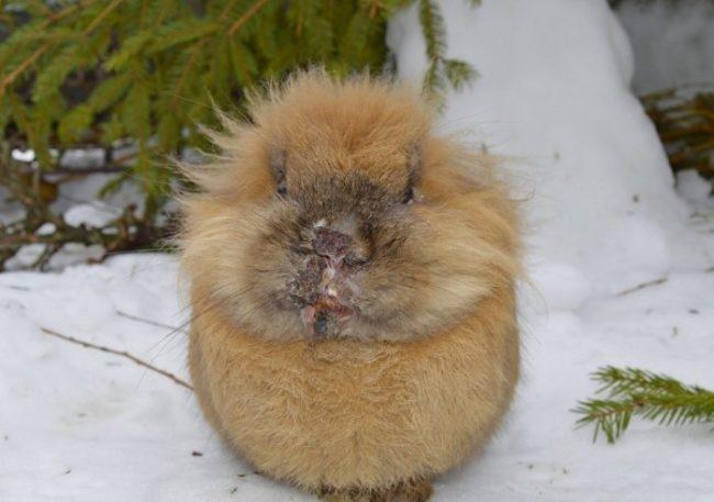 Коричневый кролик на снегу с признаками мокрицы на мордочке