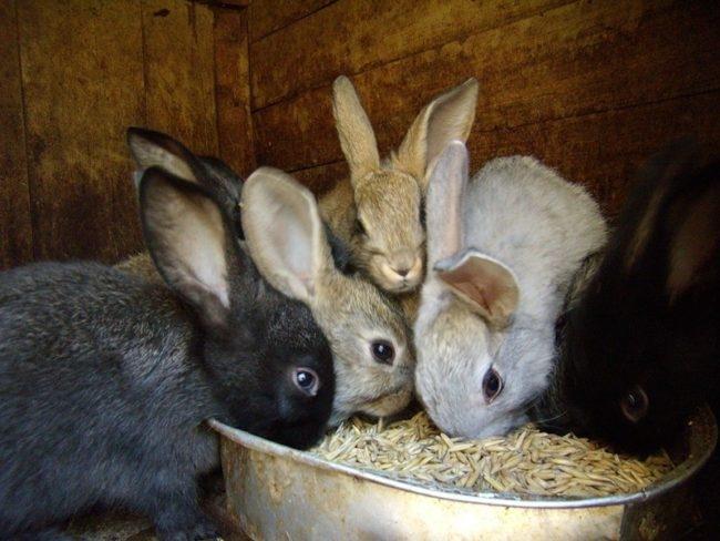 Кормление молодых крольчат зерновым овсом при вздутии живота