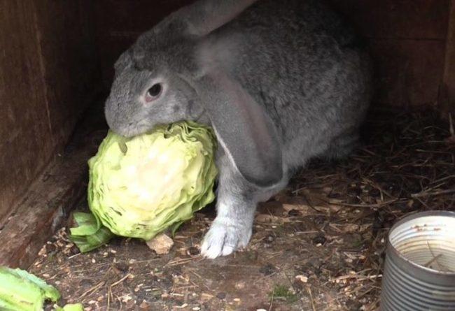 Серый кролик с удовольствием кушает свежую капусту