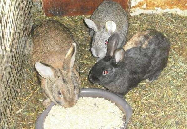 Кормление кроликов зернами овса при проблемах с пищеварением