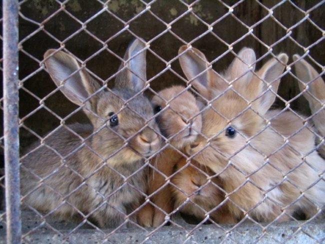Молодые крольчата в клетке из оцинкованной сетки-рабицы