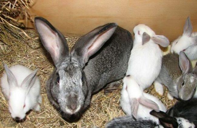 Серая самка с молодыми крольчатами на подстилке из сухого сена