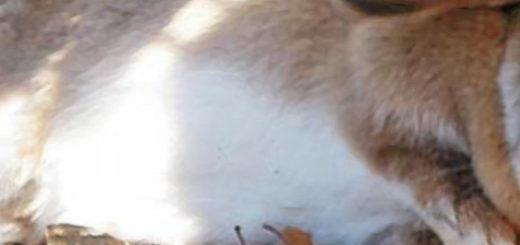 Кролик больной кокцидиозом лежит