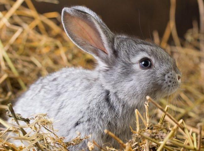 Небольшой серый кролик в клетке с подстилкой из ржаной соломы