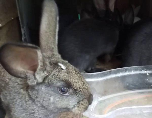 Серый кролик около прозрачной пластиковой емкости с водой