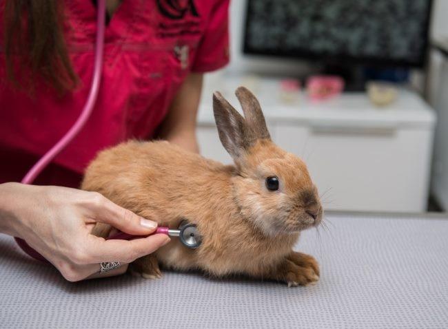 Профилактический осмотр кролика ветеринарным врачом в условиях поликлиники
