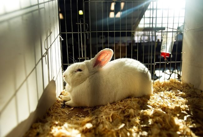 Белый кролик в клетке с подстилкой из опилок на время карантина