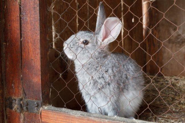 Молодой кролик на карантине в клетке из сетки рабицы