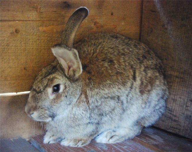 Крупные кролик с поднятыми ушами в углу деревянной клетки