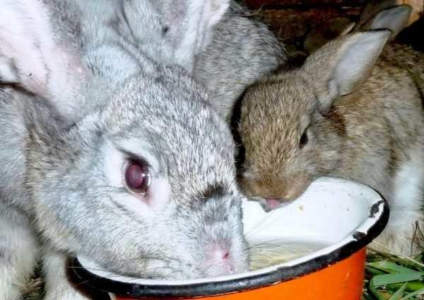 Железная чашка с чистой водой в клетке для крольчихи и крольчат