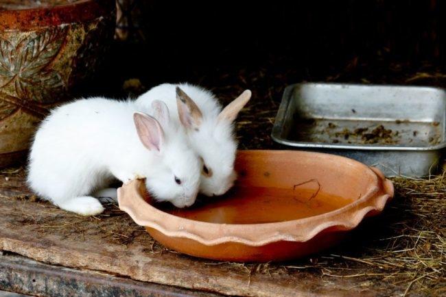 Два небольших крольчонка пьют воду из пластиковой миски