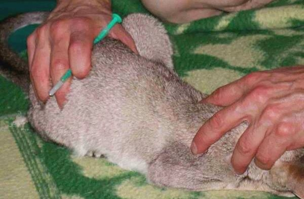 Подготовка кролика для введение укола противогельминтного препарата от глистов