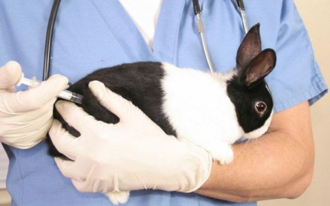 Введение кролику раствор пенициллина с помощью одноразового шприца