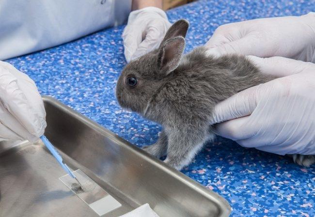 Лечение кролика антибиотиками в ветеринарной клинике