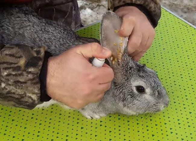 Лечение отодектоза у кролика с помощью лекарственных препаратов