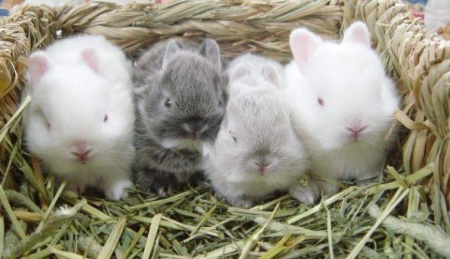 Четыре маленьких декоративных крольчонка в корзинке с подстилкой из сена