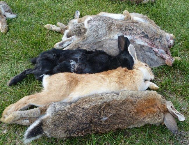 Мертвые кролики, погибшие от листериоза в фермерском хозяйстве
