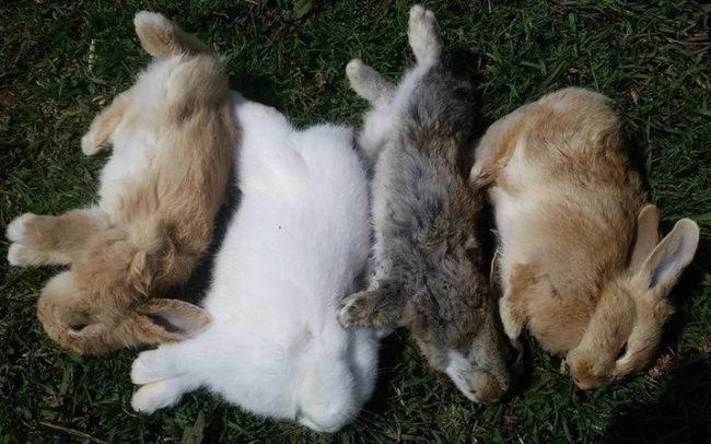 Четыре тушки кроликов, внезапно умерших от геморогички