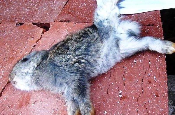 Молодой кролик, умерший от кокцидиоза без соответствующего лечения