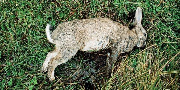 Крупный кролик, умерший от тяжелой формы инфекционного стоматита