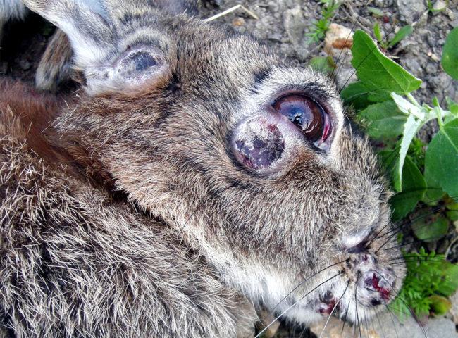 Голова больного кролика с симптомами заражения миксоматозом