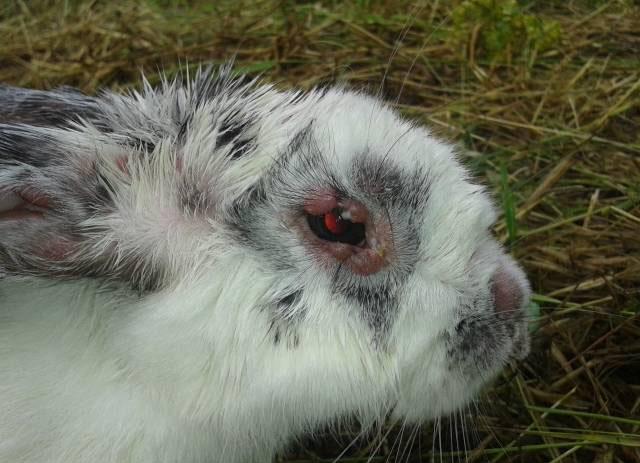 Первичные признаки заражения кролика миксоматозом