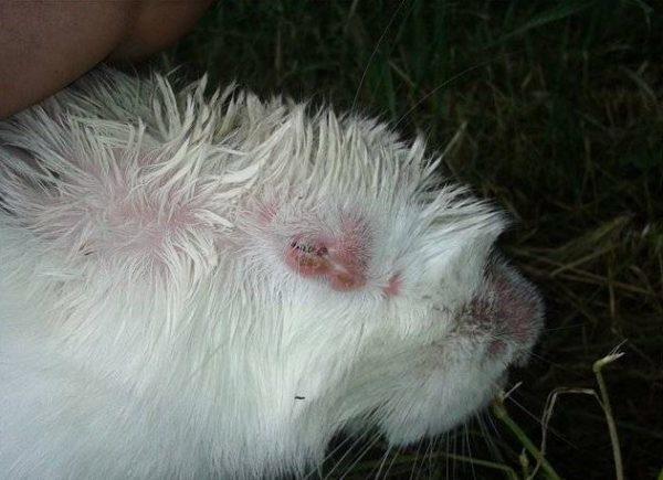 Морда кролика с признаками заболевания отечным миксоматозом