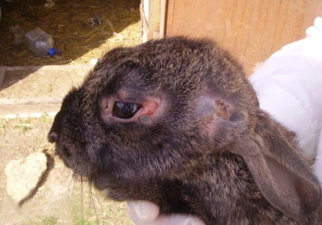 Типичные признаки поражения домашнего кролика вирусным миксоматозом