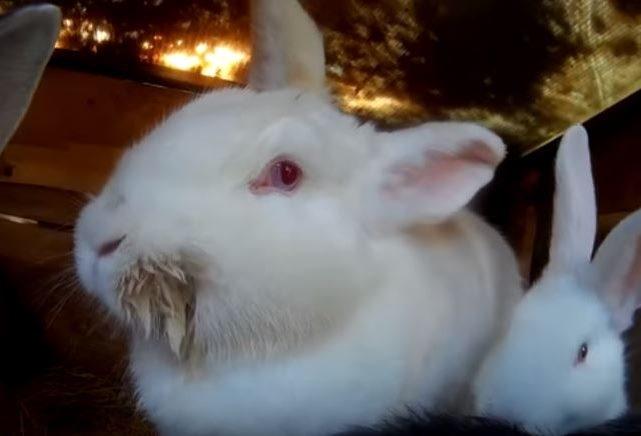 Белая крольчиха с мокрой шерсткой на мордочке от инфекционного стоматита
