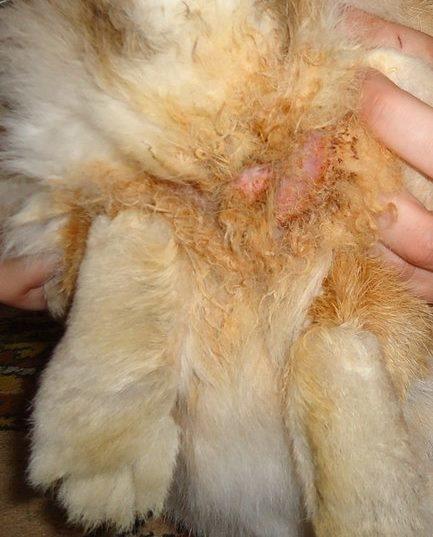 Признаки цистита вокруг мочеполовых органов кролика