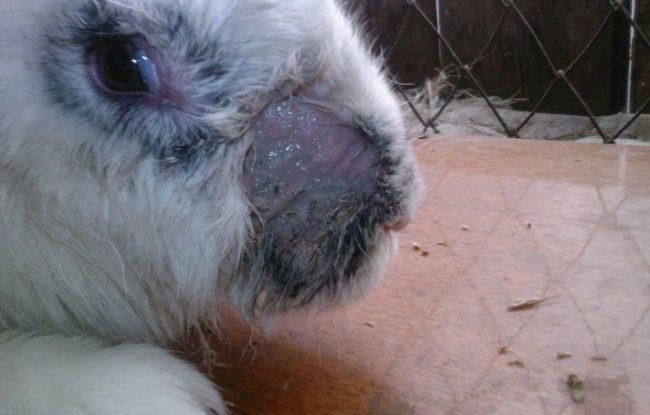 Фото мокрого лишая на носу больного кролика светлого окраса