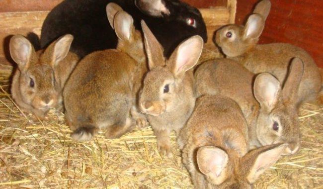 Крольчиха с молодыми кроликами, наиболее подверженными поражению кокцидозом
