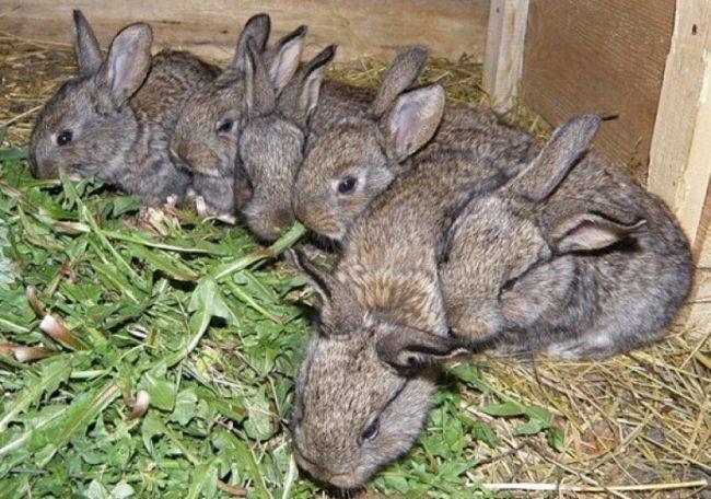 Кормление маленьких кроликов зеленой травой одуванчиков