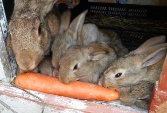 Кормление кроликов морковью для поддержания нужного количества витаминов в организме животных