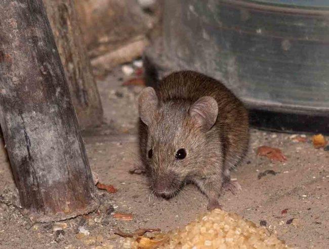 Мышь в сарае домашнего хозяйства как переносчик листериоза