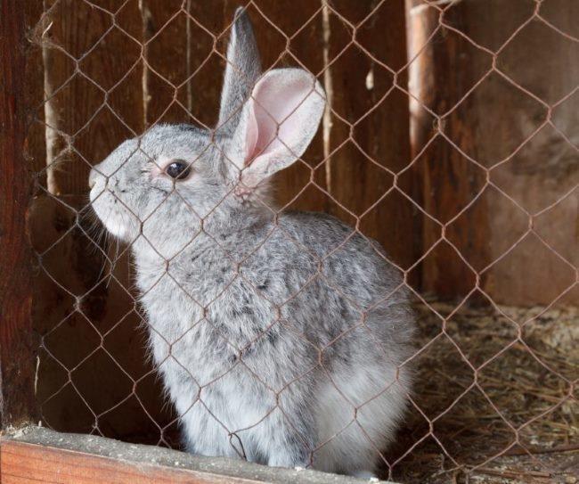 Годовалый кролик в одиночной клетке без признаков цистита