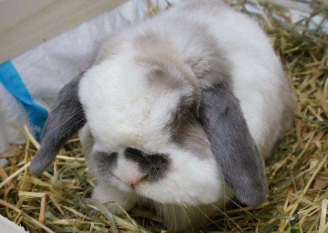 Внутренний абсцесс ротовой полости декоративного кролика