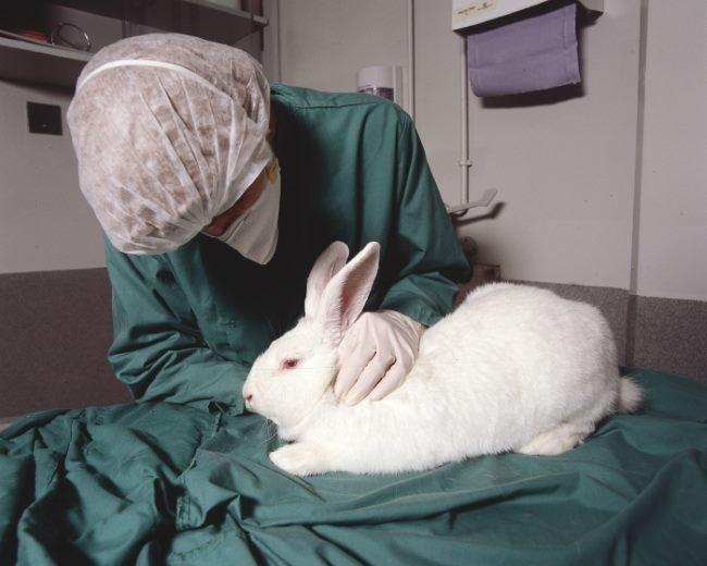 Осмотр кролика профессиональным ветеринаром с целью выявления цистита